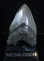 Buy 5.12 Inch Megalodon Tooth - Interesting Patterns - #3922
