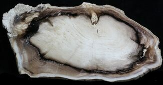 "Buy 8.6"" Petrified Wood (Spruce) Slab - Eagle's Nest, Oregon - #34477"