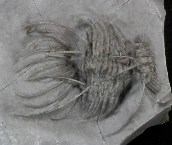 Undescribed Radiaspis Trilobite  From Jorf - Incredibly Rare