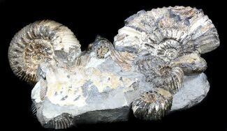 "7.2"" Cretaceous Ammonite (Simbirskites) Cluster - Russia For Sale, #34682"