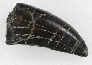 "Serrated, 1.46"" Allosaurus Tooth - Colorado For Sale, #35972"
