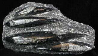 "Polished Orthoceras (Cephalopod) Plate - 8.9"" For Sale, #36008"