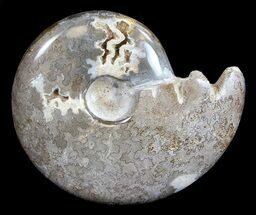 "5.4"" Polished Cretaceous Ammonite Fossil - Khenifra, Morocco For Sale, #35303"