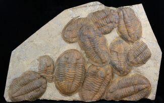 "Buy 20"" Plate Of Large Asaphid Trilobites - Spectacular Display - #36751"