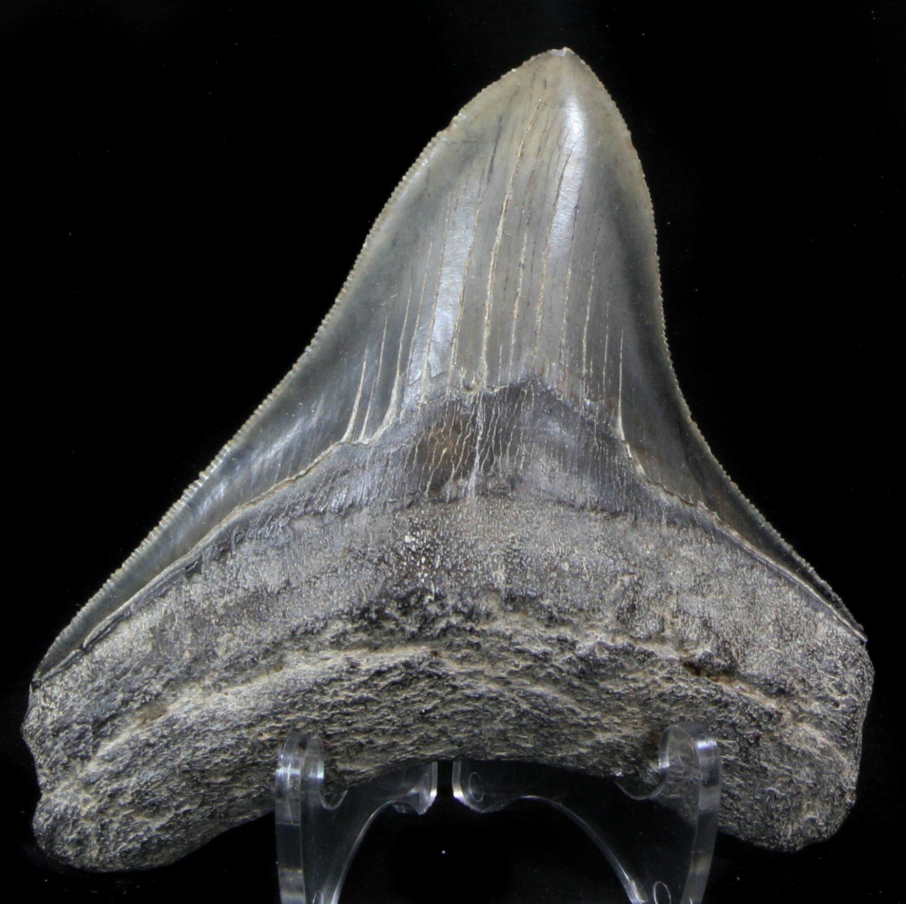 """Serrated, 4.06"""" Posterior Megalodon Tooth"""