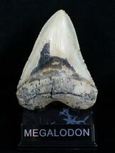 Buy 5.33 Inch Megalodon Shark Tooth - #4063