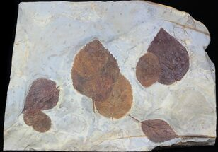 "Buy Epic 12.7"" Paleocene Fossil Leaf Association - 4 Species - #37198"