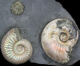 "Buy Iridescent Ammonite Fossils Mounted In Shale - 4x2.7"" - #38224"
