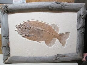 Custom Framed Phareodus Fossil Fish For Sale, #38729