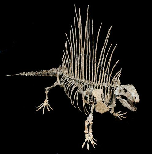 """Zoli"" 6 Foot Mounted Dimetrodon Milleri - Texas Red Beds"