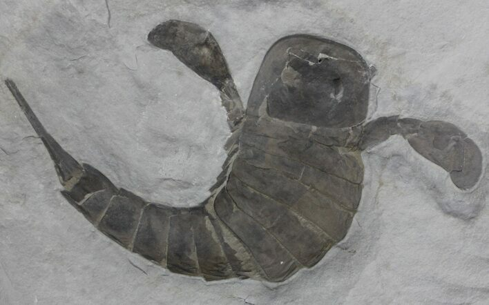 "7.6"" Eurypterus (Sea Scorpion) Fossil - New York"