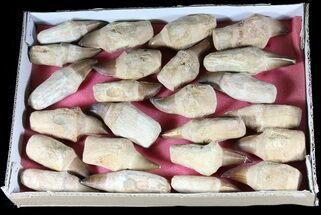 Wholesale Lot - 24 Fossil Mosasaur Teeth With Composite Roots For Sale, #39215