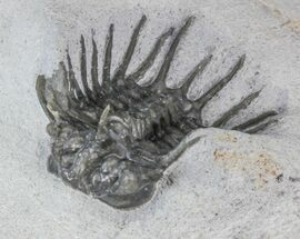 "Buy .8"" Undescribed Odontopleurid (aff. Laethoprusia) Trilobite  - #39793"