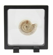 Perisphinctes - Fossils For Sale - #40011