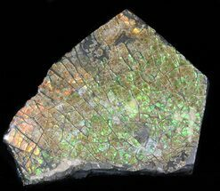 "Buy 2.6"" Brilliant Iridescent Ammolite - Fossil Ammonite Shell - #40159"