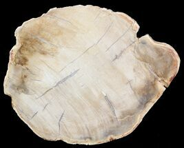 "Buy 4.7"" Petrified Wood (Araucaria) Slice - Madagascar - #41398"