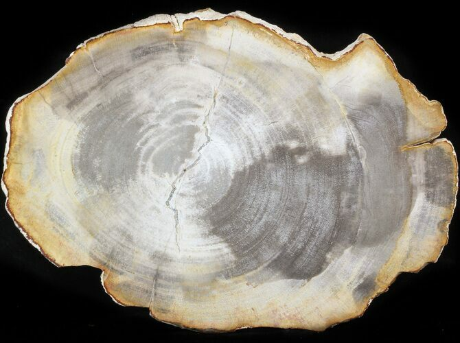 "11.8"" Petrified Wood (Tropical Hardwood) Slab - Indonesia"