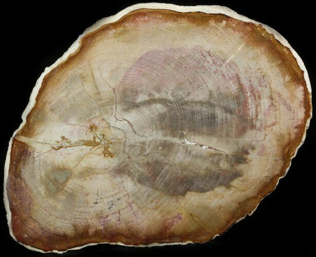"10.5"" Petrified Wood (Tropical Hardwood) Slab - Indonesia"