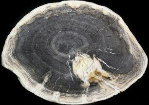 Tropical Hardwood - Fossils For Sale - #41907