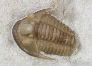 Buy Rare Maorotarion Trilobite - Black Cat Mountain - #42250
