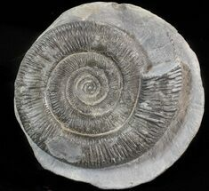 "3.3"" Dactylioceras Ammonite - UK For Sale, #42629"