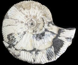 "Buy 1.9"" Wide Kosmoceras Ammonite - England - #42643"