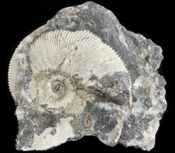"1.8"" Wide Kosmoceras Ammonite - England For Sale, #42644"
