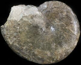 "3.5"" Phylloceras Ammonite Fossil - England For Sale, #42665"