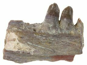 "Buy .77"" Ophiacodon (Permian Synapsid) Jaw Section - Texas - #42970"