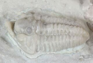 Spathacalymene nasuta - Fossils For Sale - #23286