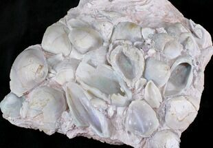 Opal Replaced Fossil Clams, Gastropods & Crinoid - Australia For Sale, #22838