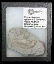 Rare Devonian Phyllocarid (Rhinocaris) - Ohio (Reduced Price) For Sale, #43790