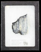 "Buy 1.43"" Mammoth Molar Slice - South Carolina - #44068"