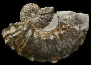 "Buy Iridescent 1.15"" Hoploscaphites Ammonite - South Dakota - #44023"