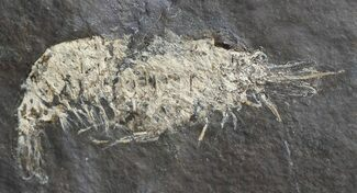 Buy Carboniferous Shrimp-Like Crustacean (Tealliocaris) - Scotland - #44407