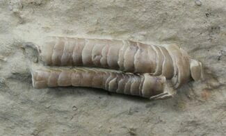 Rare Armored Worm (Lepidocolus) - Haragan Formation For Sale, #44384