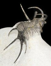 "1.75"" Alien Looking Ceratarges Trilobite For Sale, #44513"