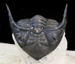 "2"" Metacanthina (Asteropyge) Trilobite - Lghaft, Morocco For Sale, #44522"