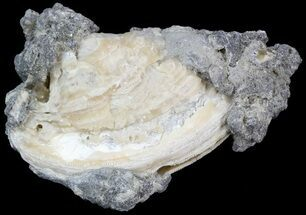 "Buy 4.1"" Golden Crystal Filled Fossil Clam - Rucks Pit - #44599"