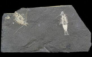 Buy Carboniferous Shrimp-Like Crustacean (Tealliocaris) - Scotland - #44410