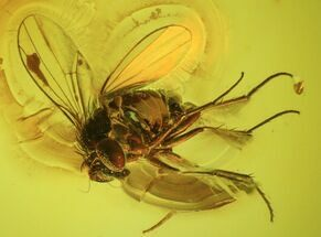 Buy Detailed Fossil Fly (Diptera) In Baltic Amber - #45175