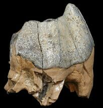 Buy Extinct Rhino (Stephanorhinus) Upper Molar - Germany - #45373