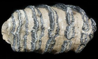 "5.4"" Southern Mammoth M1 Molar - Hungary For Sale, #45359"