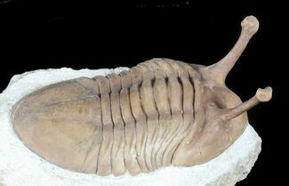 "Stalk-Eyed Asaphus Kowalewskii Trilobite - 2.6"" For Sale, #45980"