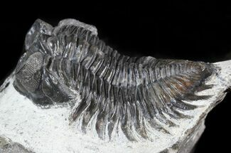 "Bargain 2"" Coltraneia - Bug Eyed Trilobite For Sale, #46085"