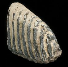 "Partial 5.8"" Southern Mammoth Molar - Hungary For Sale, #45551"