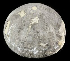 Eucosmus caraboeufi - Fossils For Sale - #46380