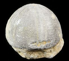 "1.95"" Jurassic, Fossil Echinoid (Eucosmus) - Garsif, Morocco For Sale, #46385"