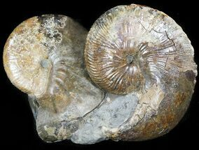 Hoploscaphities nicolletii - Fossils For Sale - #46869