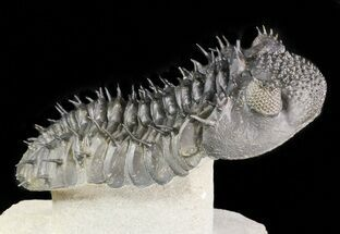 "Spiny Drotops Armatus Trilobite - 4.9"" For Sale, #47072"